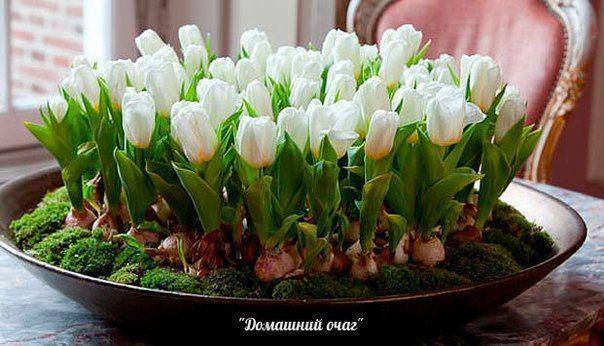 Посадка тюльпанов, нарциссов, гиацинтов осенью