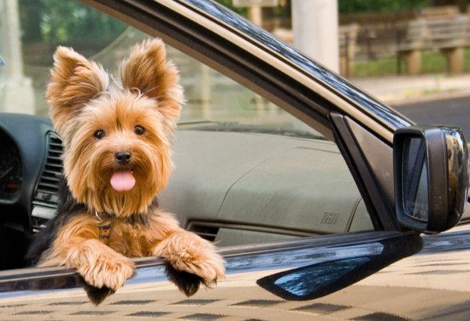 Хозяева не взяли пса в отпуск, и он автостопом проехал за ними 1500 км