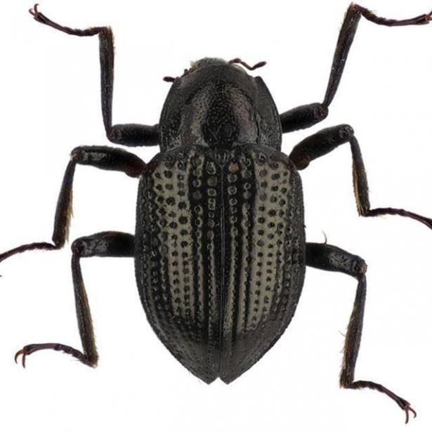 В честь Леонардо Ди Каприо назвали... водяного жука