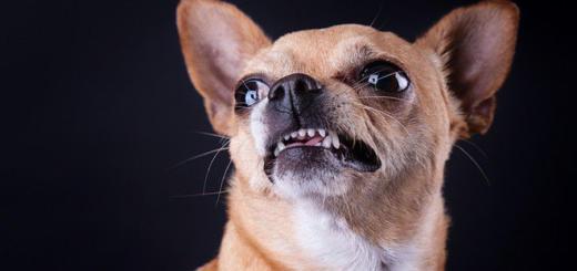 Половина россиян признались, что не любят маленьких собак