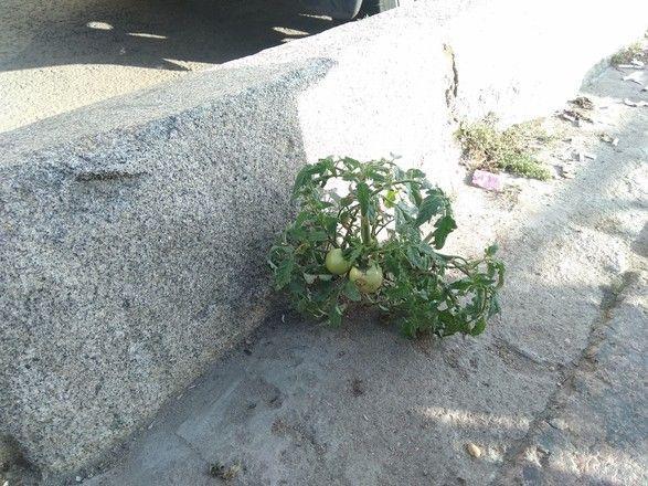 Природа против цивилизации: на дороге из асфальта выросли помидоры