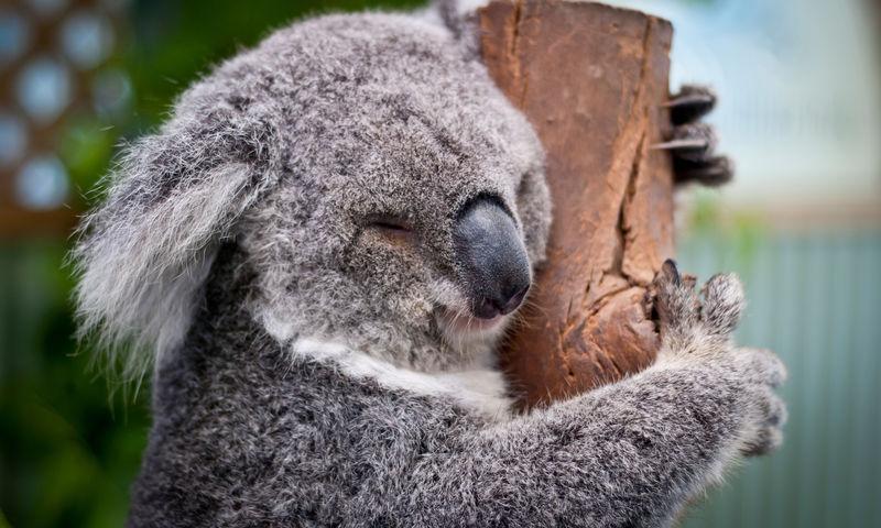 Милота дня: коалы спят в пинетках