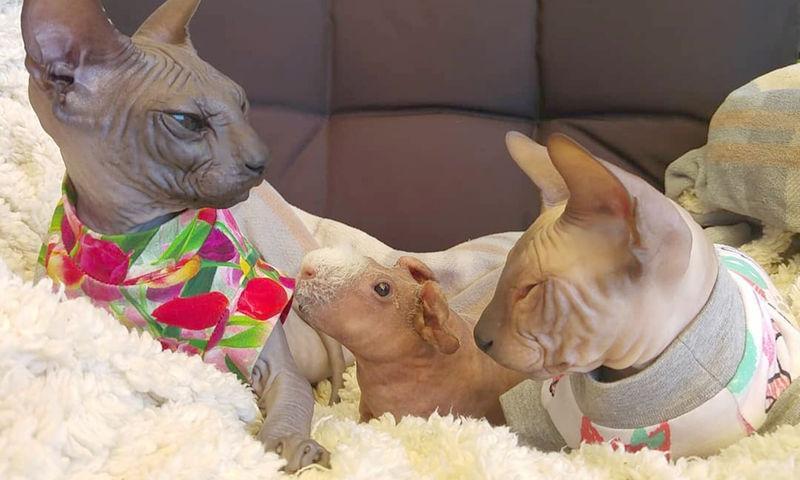 В Испании семья кошек приютила морскую свинку